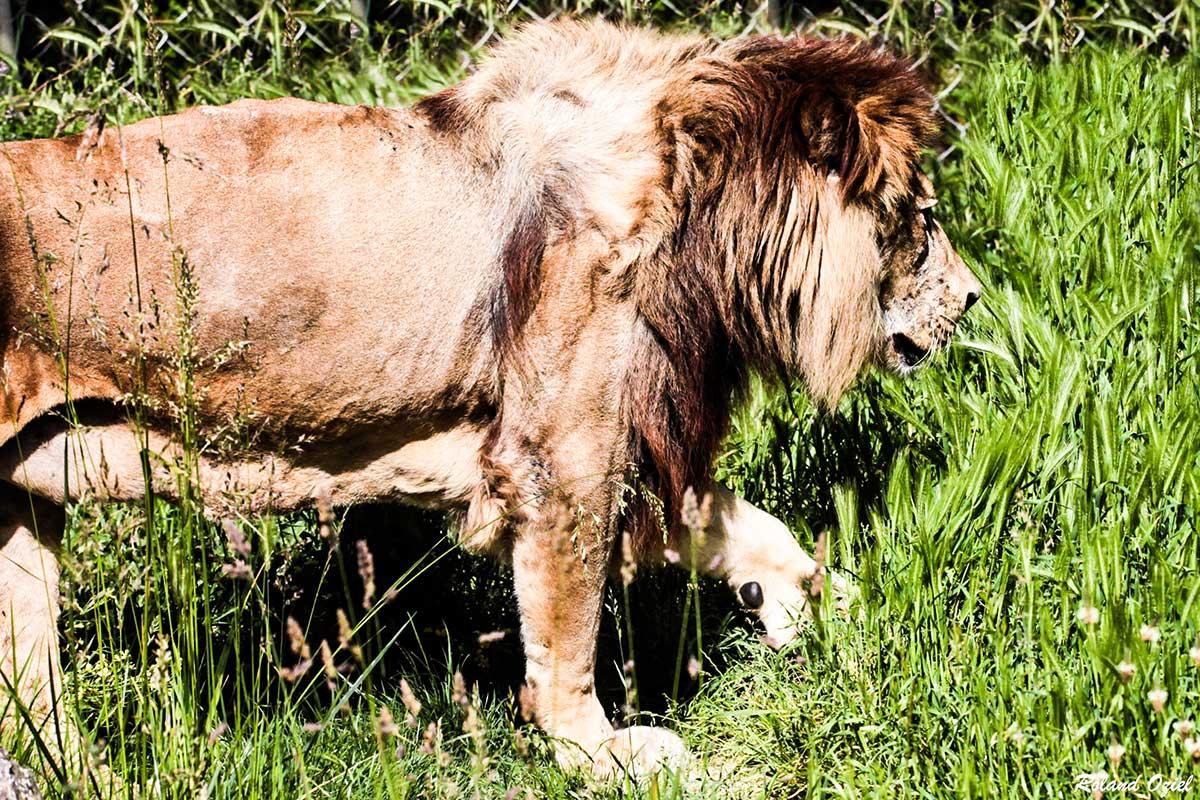 zoo des sables d'olonne lion