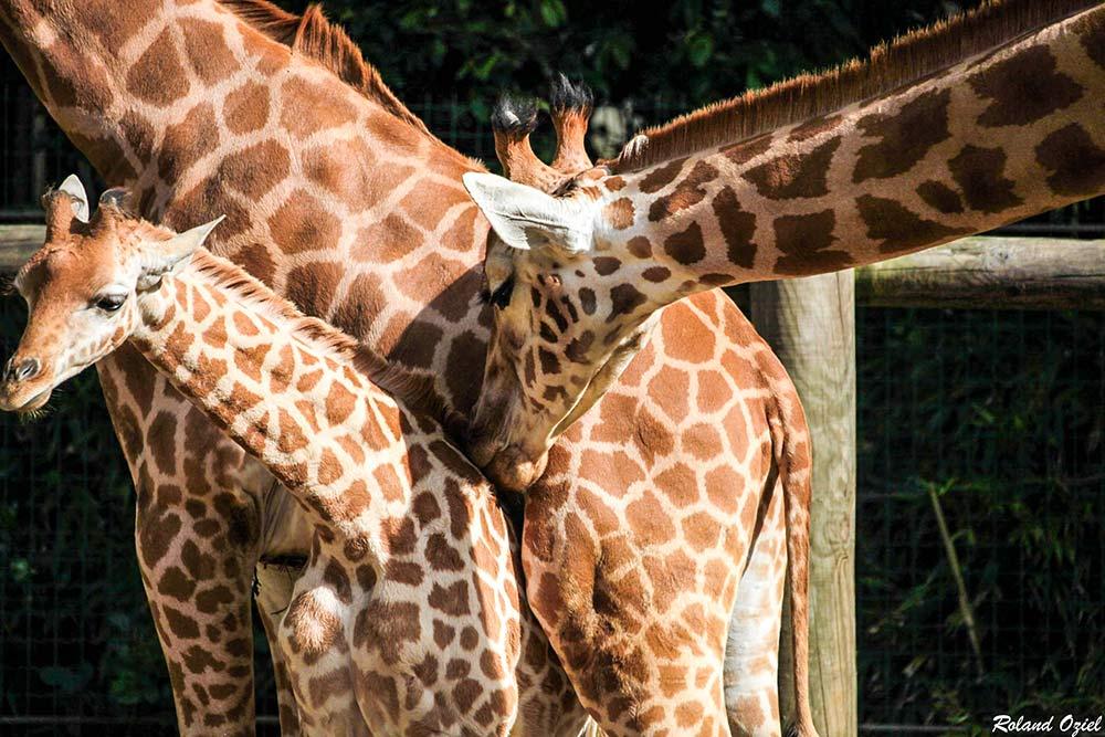 girafe zoo des sables d'olonne